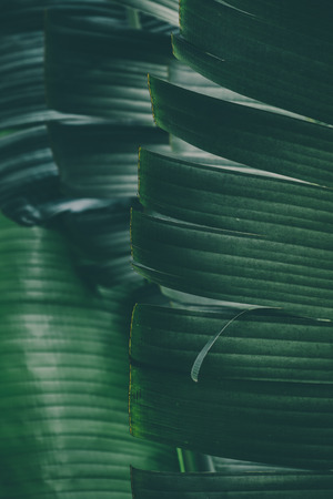 Macro image of tropical banana leafs.