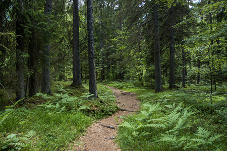 Beautiful pine forest path in Alps Reklamní fotografie - 103242949