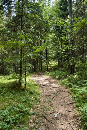 Beautiful pine forest path in Alps Imagens