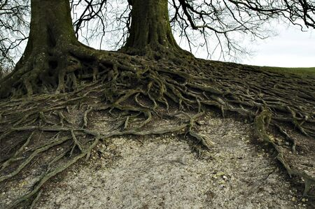 wide branched roots of two full-grown trees photo