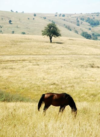 ranging: free ranging horse in Romania mountains with lonely tree in background