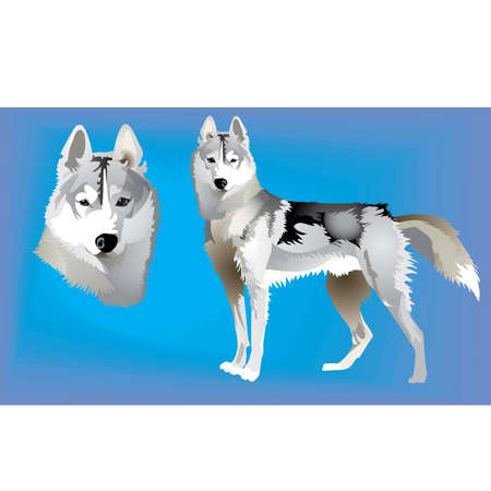 Siberian Huskies Vettoriali