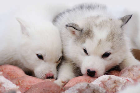 huskies: Two puppies of Siberian Huskies