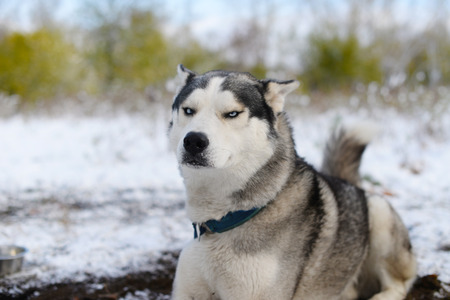 dissatisfied: leer dissatisfied sled dog