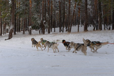 sled dogs: running team of sled dogs of six Siberian Huskies Stock Photo