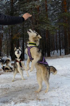 begging: Siberian Husky breed dog begging for sweets