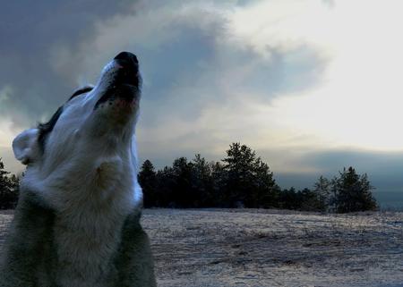 plaintive: lone wolf howls at night