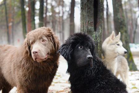 black and white newfoundland dog: three wet dogs Stock Photo