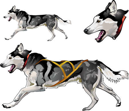 Running sled dog of Siberian Husky breed 일러스트
