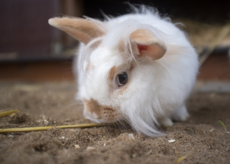 attentively: Curious white rabbit looks attentively from under his eyebrows, he listens and sizing