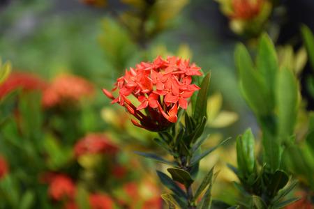 Red Flower Spike in Thailand.