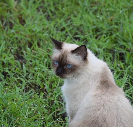 Portrait of white Thai cat in gardennature background.