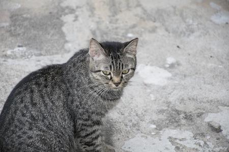 grey tabby: Portrait grey tabby cat on concrete floor.