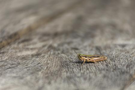chorthippus: close up grasshopper (Chorthippus albomarginatus) on wood.