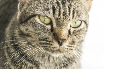 formidable: close up face formidable cat on white background. Stock Photo