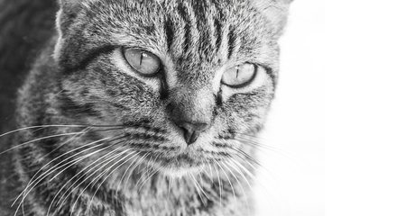 close up face: close up face formidable cat on white background. Stock Photo