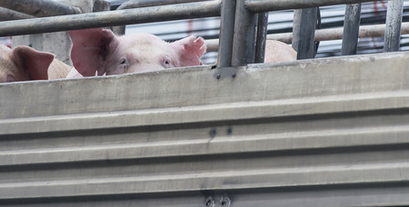 cramped: Pigs on truck way to slaughterhouse for food. The sad sight of pigs. Stock Photo