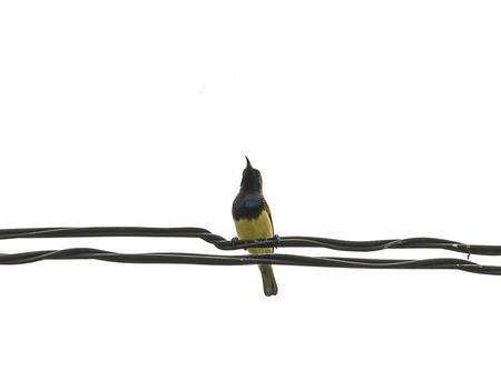 prin: Mugimaki Cazamoscas pájaro amarillo en el alambre con fondo blanco, blanco. Foto de archivo