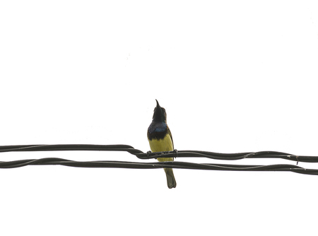prin: Mugimaki Flycatcher yellow bird on wire with isolated, white background. Foto de archivo