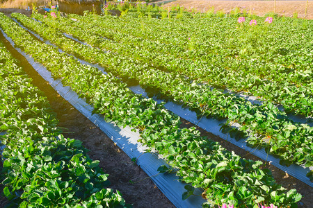 agricultural green field in Thailand. Eating Healthy friut. Strawberry garden at winter season. Stock Photo