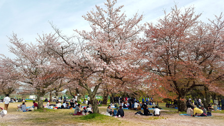 Picnic by the Sakura Trees