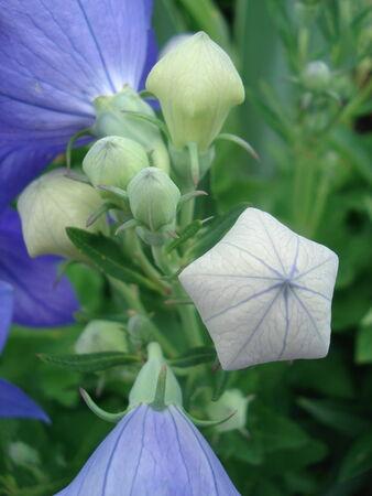 pentagon: Purple Pentagon Flower