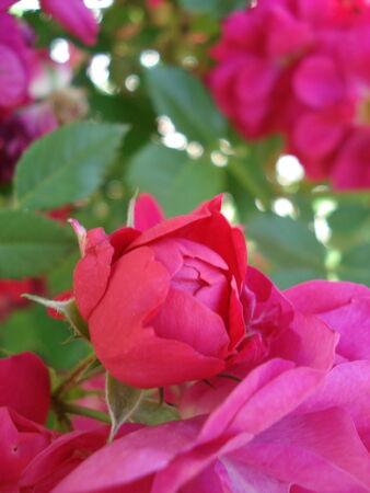 rose bud: Rose Bud