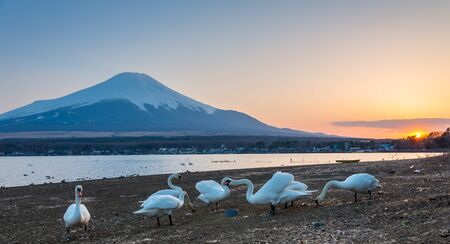 White Swan and Mt Fuji from Lake Yamanaka