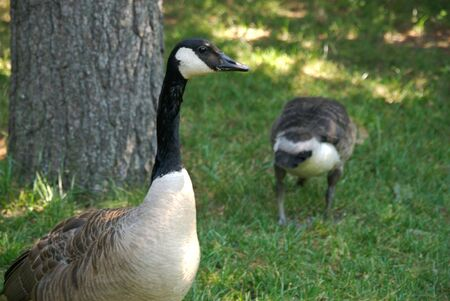 canadian geese: Canadian Geese on a lawn Stock Photo