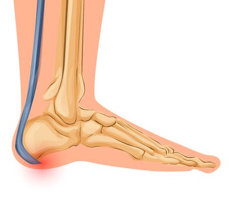Pie Bone Anatomy Vector Illustration Arte médico Vectores