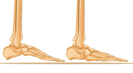 Foot bone anatomy  medical art illustration.