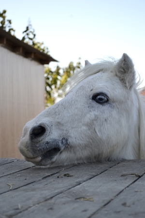 White horse portrait, horse with blue eyes. Ranch, Odessa