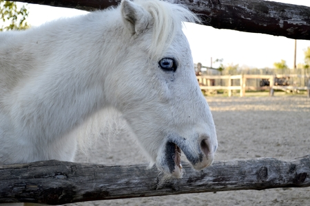 White horse portrait, horse with blue eyes. Ranch Stock Photo
