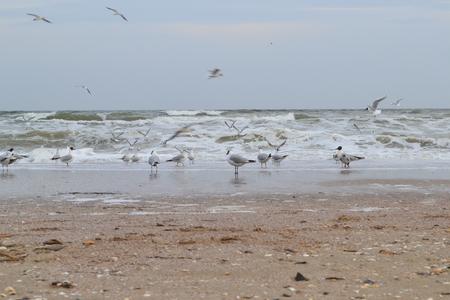 Black head gull Larus ridibundus and common gull Larus canus near the waves on the Black sea walk along the sand in Odessa, Ukraine