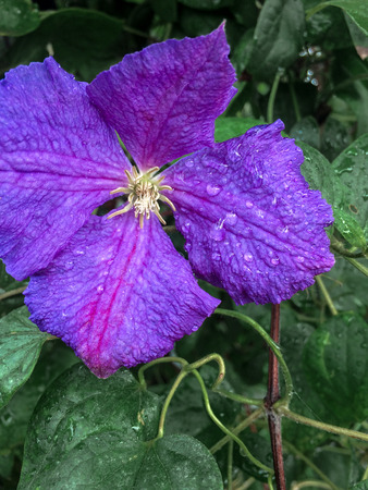 Home violet flower in garden in green leaves summer botanical theme Stock Photo