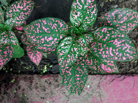 Hypoestes phyllostachya with pink spotted leaves, polka dot plant Reklamní fotografie