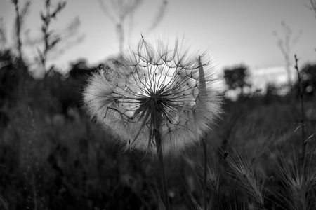One fluffy white dandelion in a field in the rays of sunset black and white. 版權商用圖片