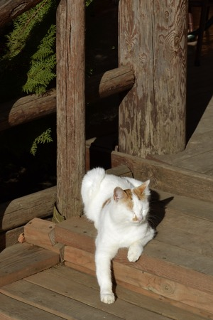 One white cat with red spots is lying on wooden steps resting in the sun 版權商用圖片