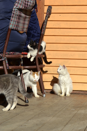 A crowd of cats of different colors resting in the sun. Domestic kittens and cats stick to people, one of them is sitting on a chair with people at the table. 版權商用圖片