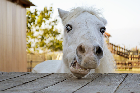 A portrait of an emotional white horse that is looking at a camera on a farm. Little white pony on a wooden shelf
