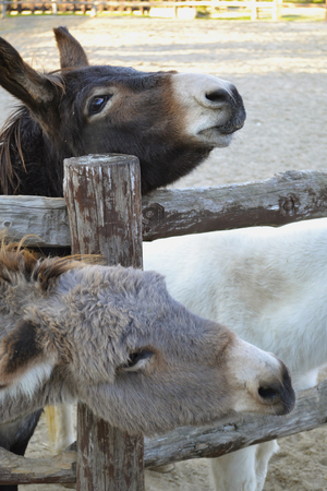 Portrait of two young donkeys gray and dark on a farm in a wooden pen in clear weather 版權商用圖片