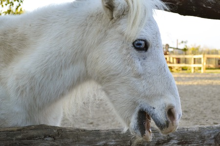 A portrait of an emotional white horse that is looking at a camera on a farm. Little white pony on a wooden shelf.