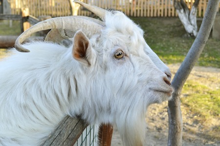 A close-up profile portrait of a white male goat with slightly curved horns and a short beard, looking down, on a green background, in soft focus in the background. 版權商用圖片