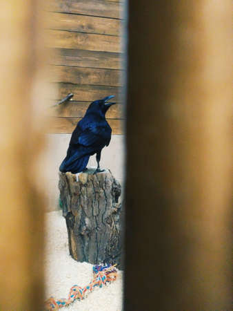 view of the big black crow in the aviary