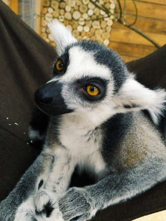 Lemur with a cute look lies in a hammock relaxed