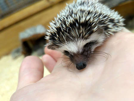 White little pygmy hedgehog sits on hand Фото со стока