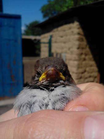 Sparrow in hand in the village in sunny weather