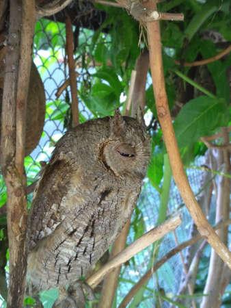 scops owl sits in a tree and falls asleep 版權商用圖片