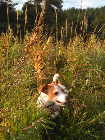 A dog in the woods for a walk exploring the beautiful world at sunset