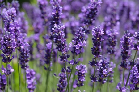 field of blue lavender in park in Brussels Stock Photo - 15875098